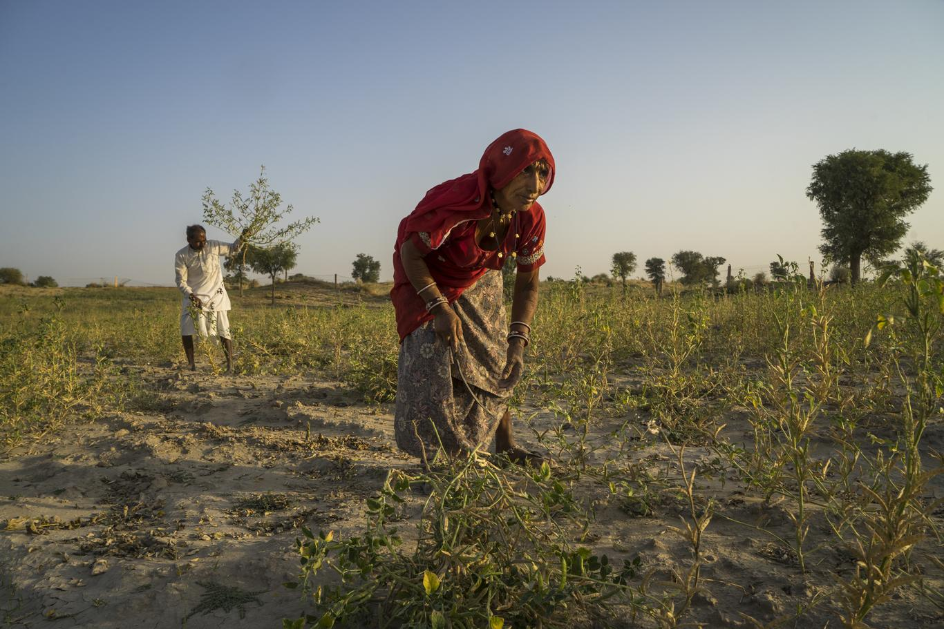 Guar farmer and his wife in their field, India