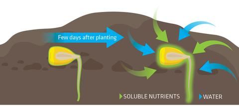 Solvay - S-boost - How it works - seed few days after planting